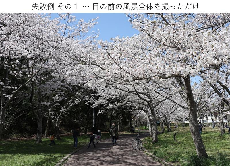 引いた全体の桜の写真、失敗的なやつ