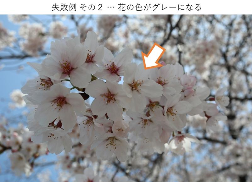 露出アンダーで桜の花がグレーになった例