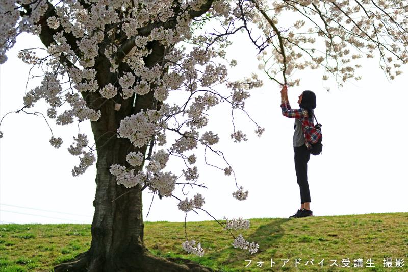 桜ポートレート作例 人物を遠景で