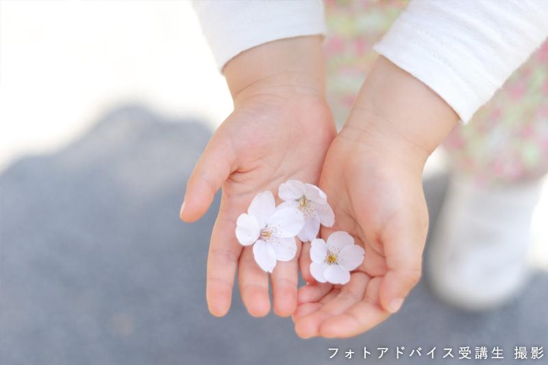 桜ポートレート作例 桜の花と子供の手のひら
