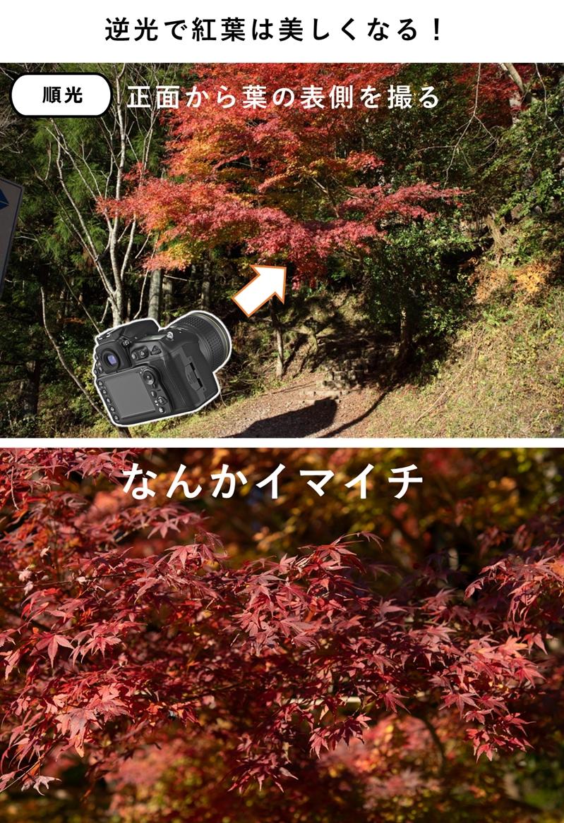 順光の紅葉の写真