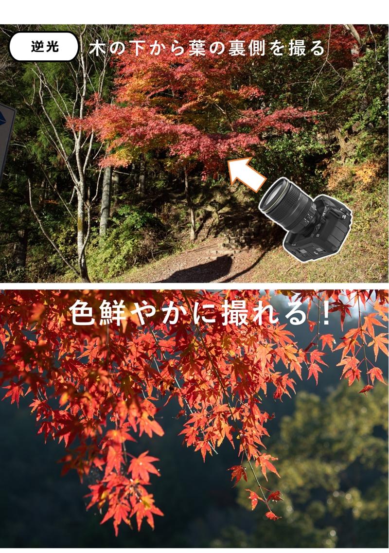 逆光の紅葉の写真