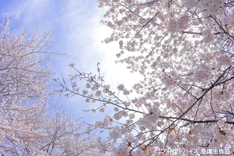 桜のアップ+背景に青空
