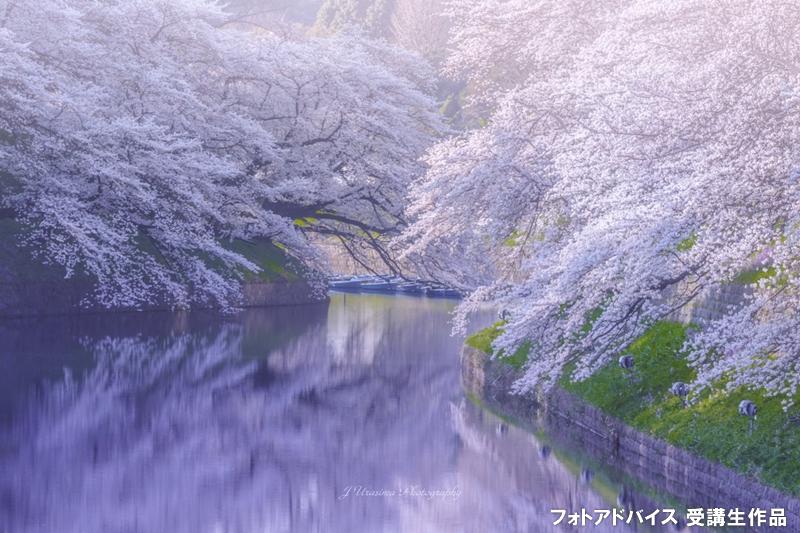 桜の映り込み(リフレクション)の写真
