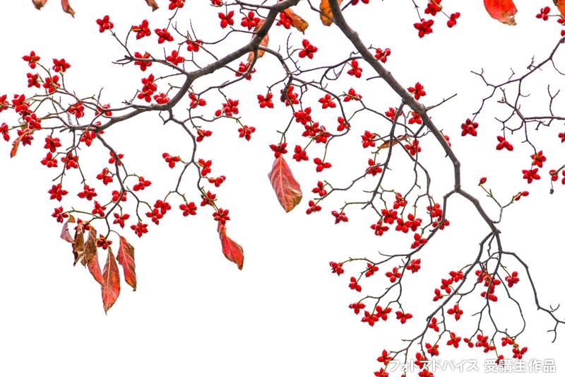 空で背景を白くした紅葉写真