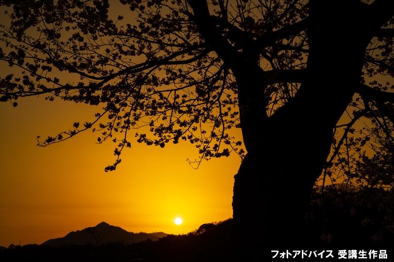 夕陽と桜のシルエットを撮った写真