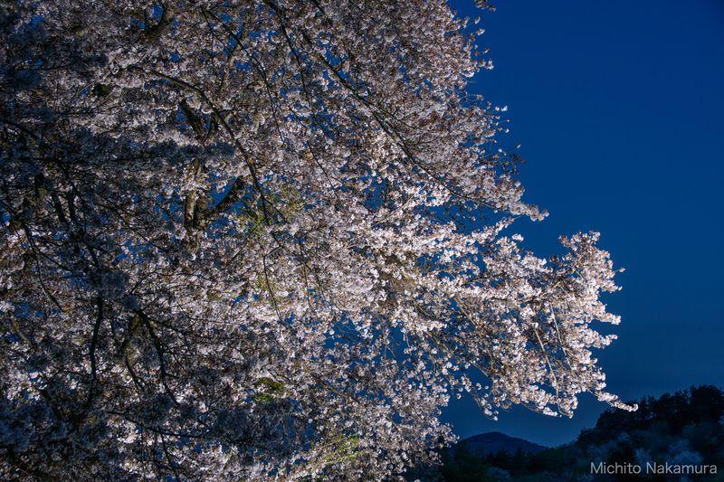 夜桜のストロボ撮影 応用例