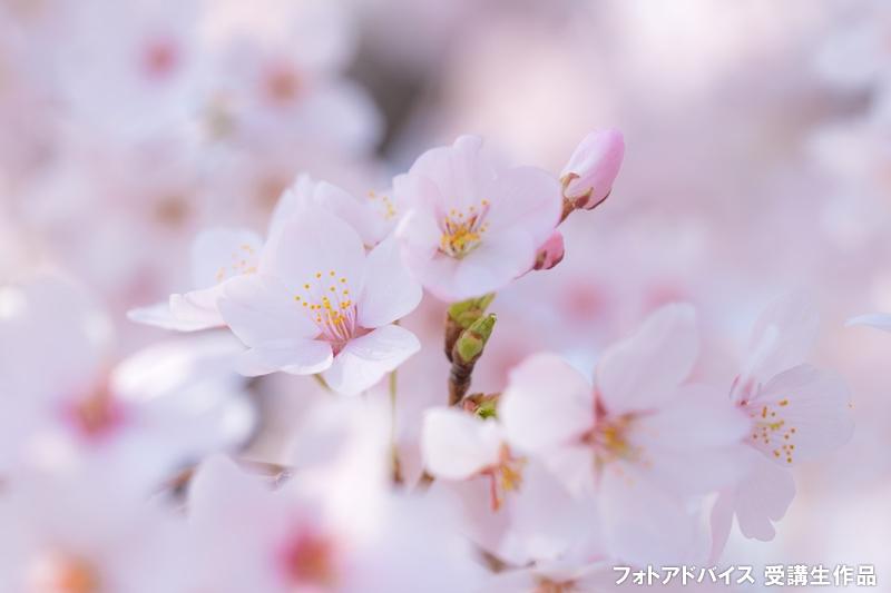 曇り日の桜写真