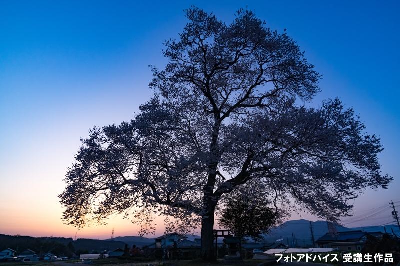 マジックアワーで桜を撮った写真