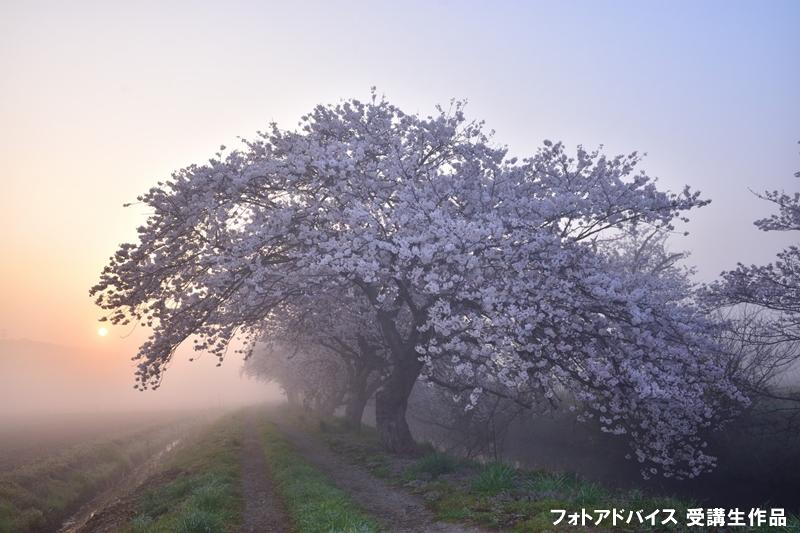 明け方に出た霧と桜の写真