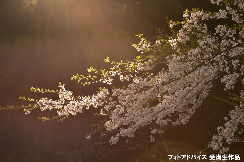 朝の光が差し込む桜