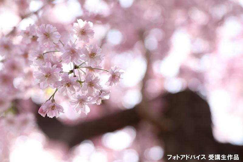 桜のアップ+形の良い枝