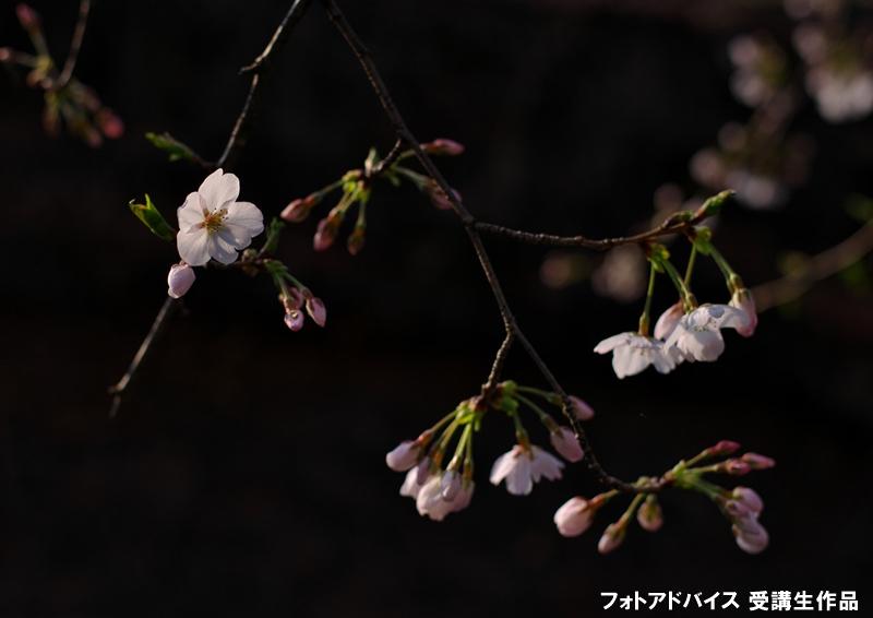 桜のアップ+黒バック