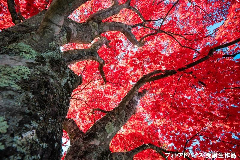 広角レンズで木の幹に近づいた紅葉写真