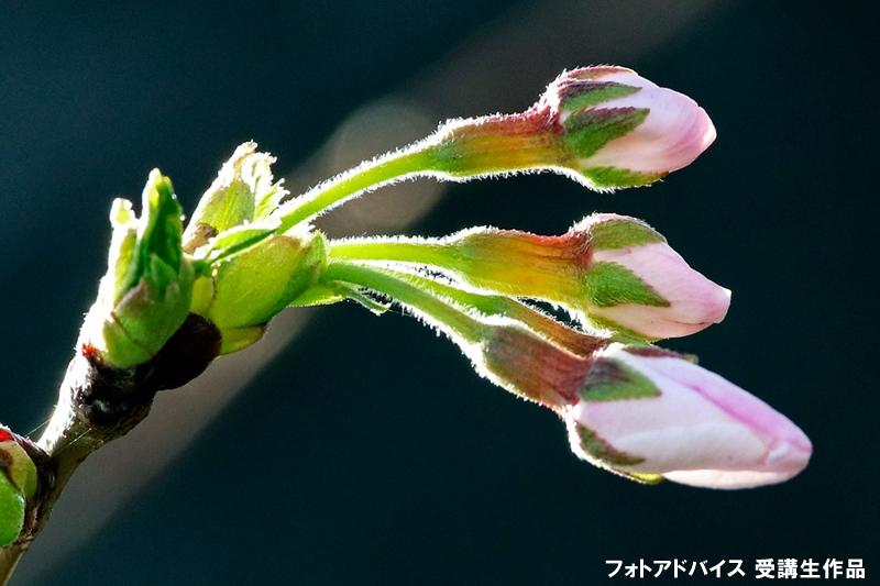 咲き始めから散り終わりまで表現した作品