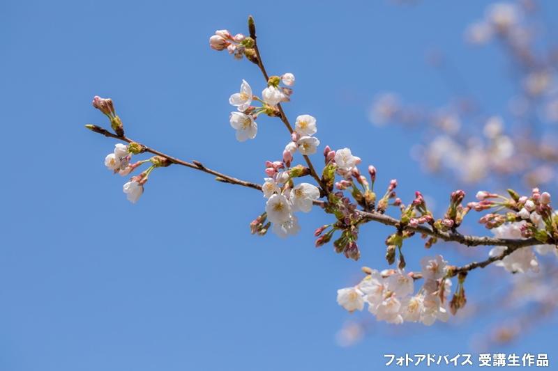 晴れた日の桜写真