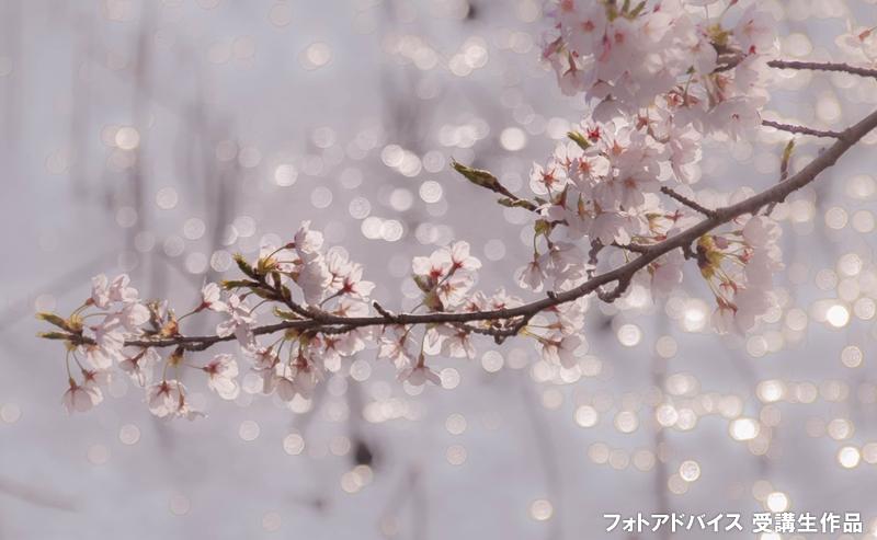 桜のアップ+キラキラ