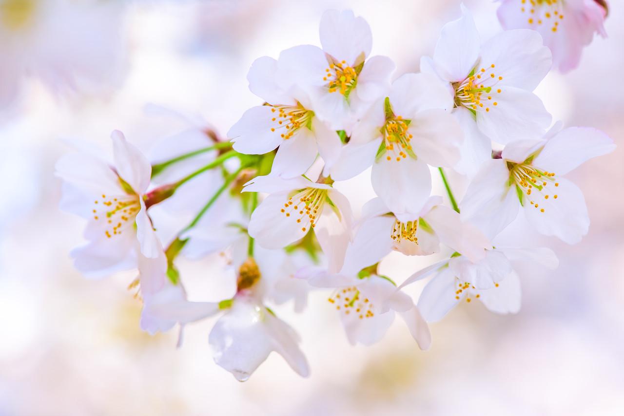 桜をアップで撮った写真