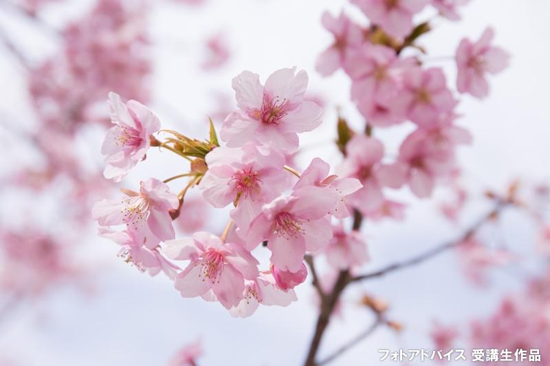 河津桜の写真