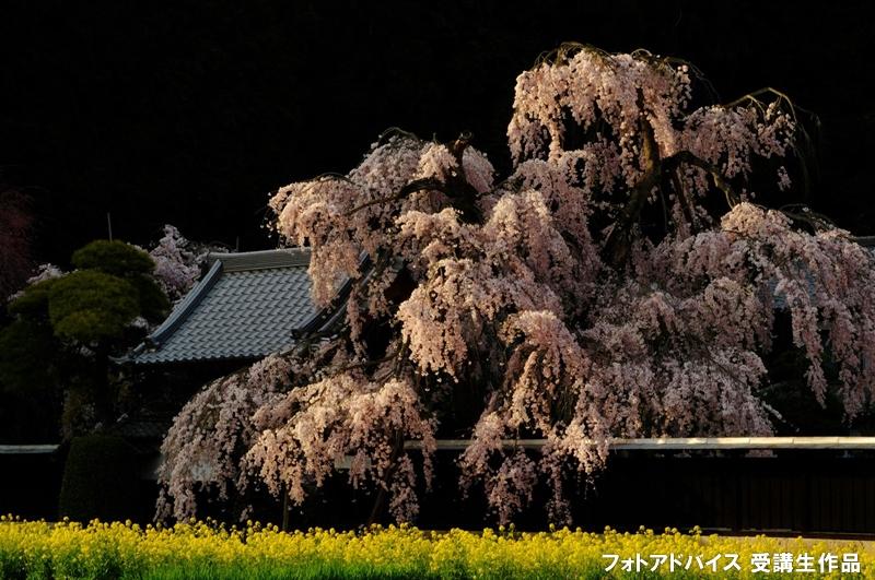 西日でサイド光が当たった桜の写真