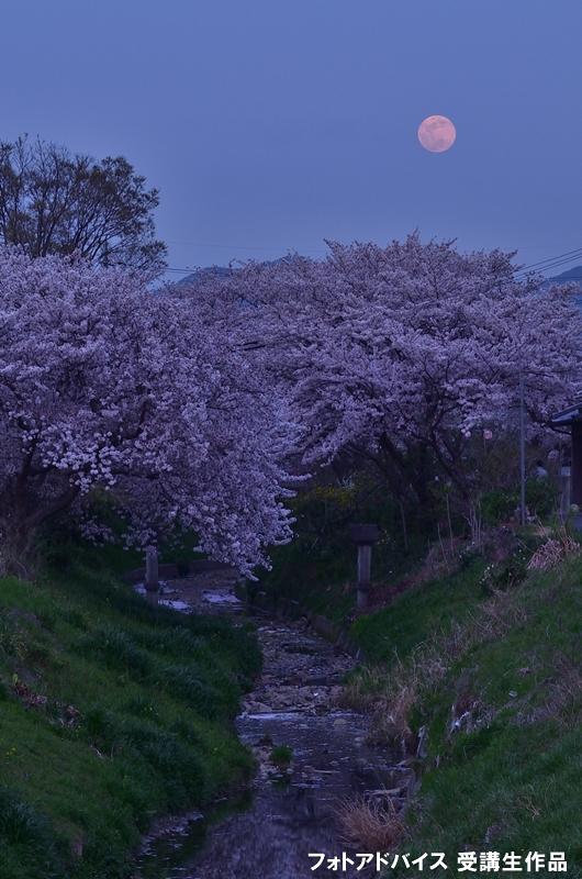 満月と桜を絡めた写真