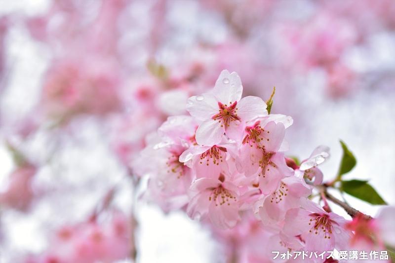 雨の桜写真、雨粒と落ちた花びら