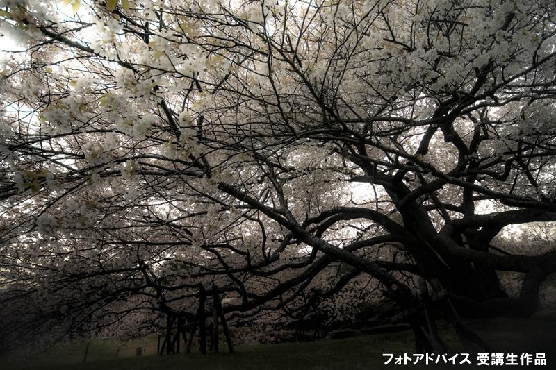 枝ぶりの良い桜の写真