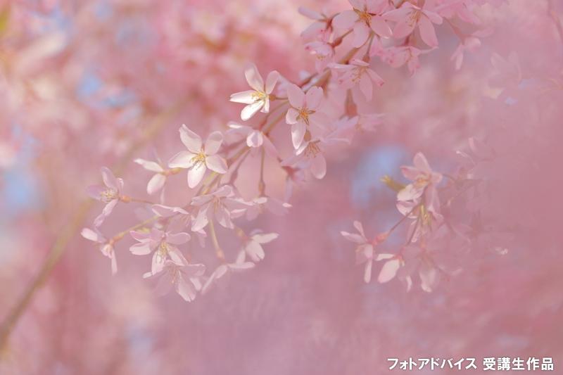 桜フィルターの写真