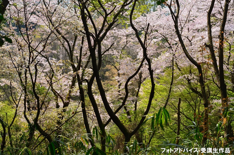 桜と自然風景を組み合わせた写真