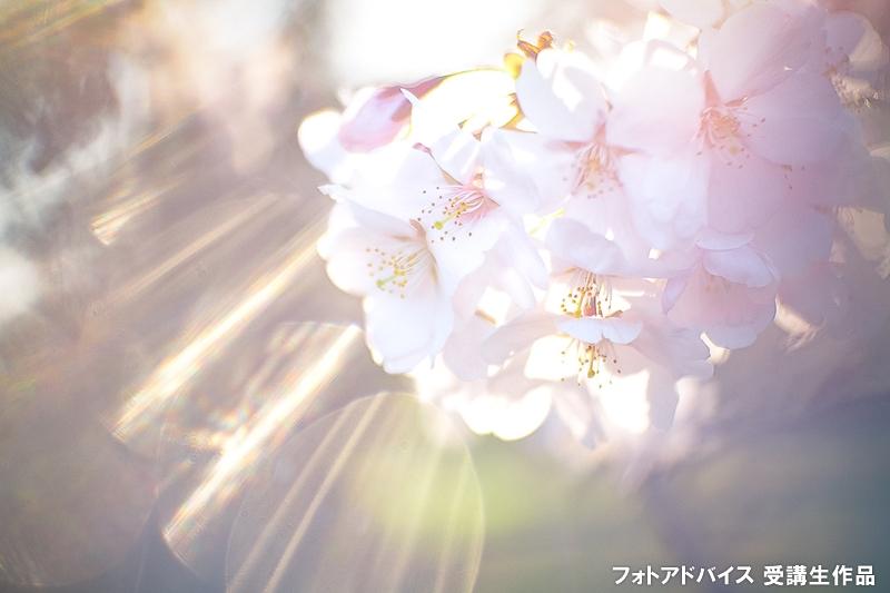 透過光を活かした桜の写真